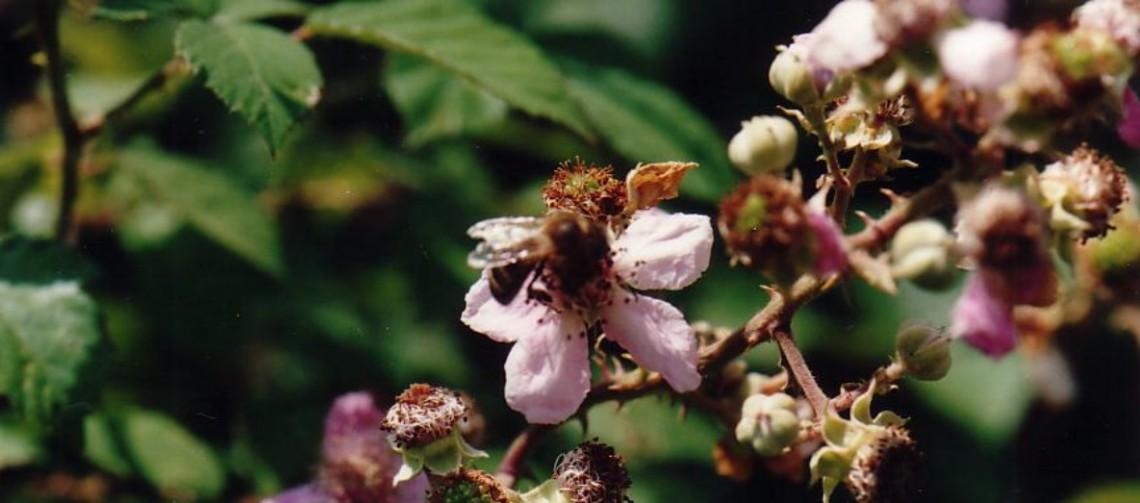 Miel Toutes Fleurs - Fleurs de ronces entrant dans la composition du miel Toutes Fleurs