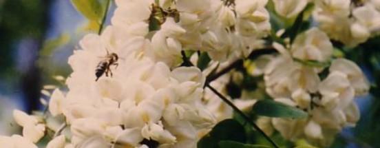Miel d'acacia du Jura - Abeille récoltant du nectar sur les fleurs d'acacia