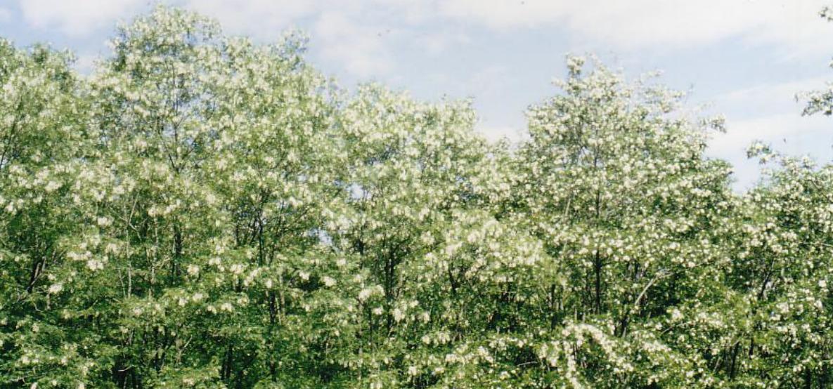 Miel d'acacia du Jura - bois d'acacia - La Ferme au Miel