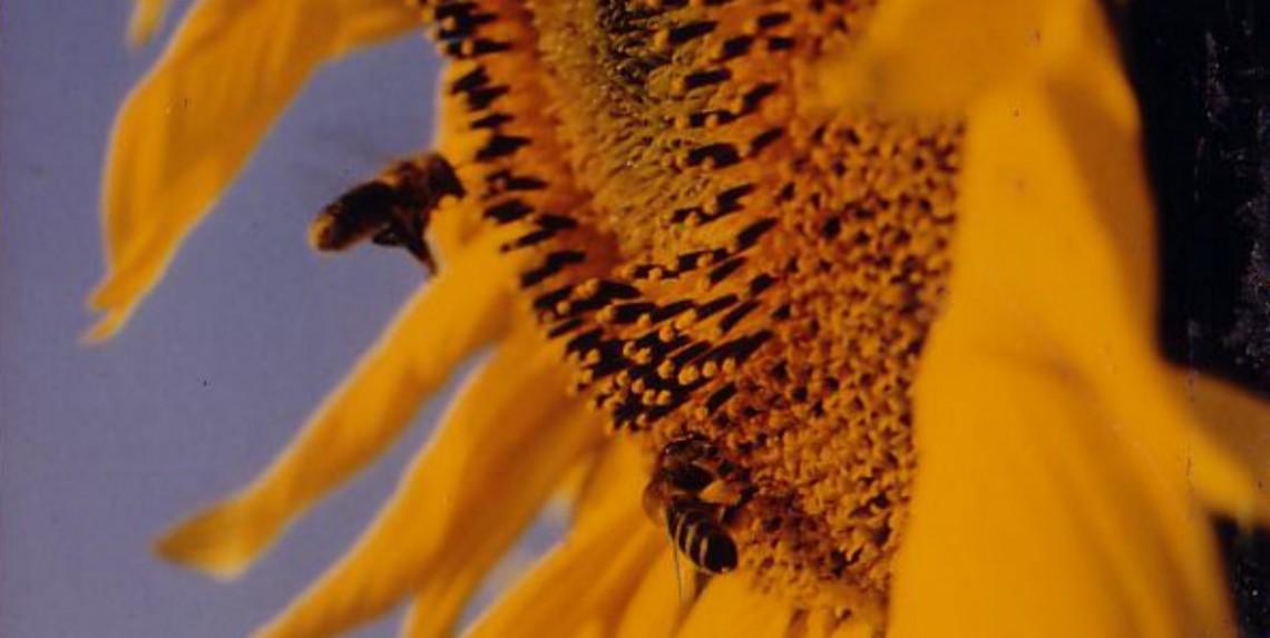 Miel Crémeux - Fleurs de tournesol entrant dans la composition du miel crémeux
