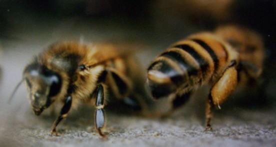 Pollen du Jura