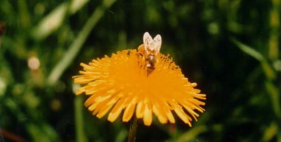 Miel de Printemps du Jura - Fleurs de pissenlit entrant dans la composition du miel de printemps