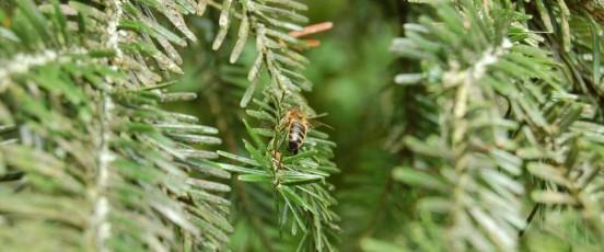 Miel Sapin - abeille récoltant du miellat de sapin